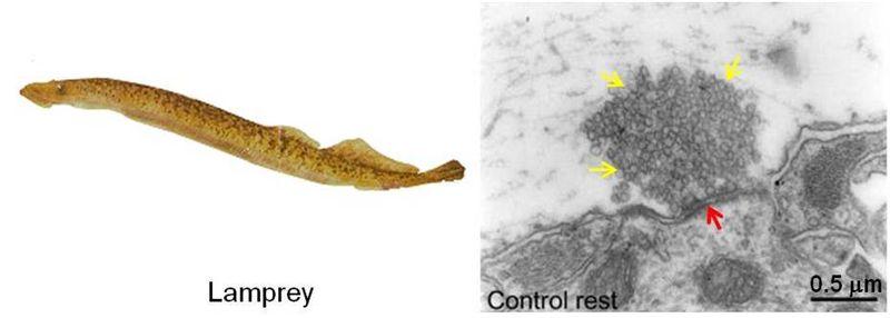 Lamprey synapse